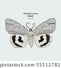 Catocala Moth is a generally Holarctic genus of 55512782