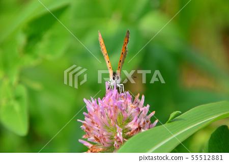 Lycaena phlaeas 55512881