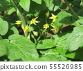 Yellow flowers of cherry tomatoes grown a lot with 50 yen 55526985