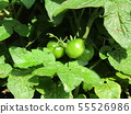 Immature fruit of mini tomato grown a lot with 50 yen type 55526986