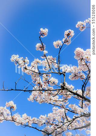 Sakura in full bloom 55528086