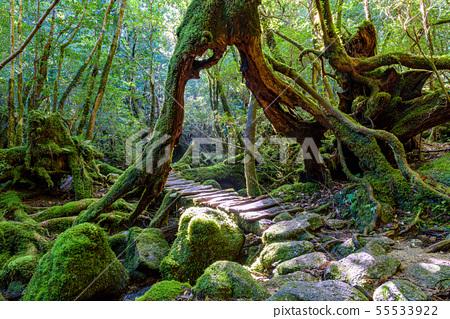Shiratani Unsuikyo Forest (September) Sunbeams, National Park Yakushima Forest 55533922