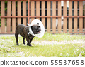 french bulldog wearing transparent plastic collar. 55537658