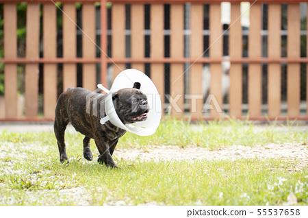 french bulldog wearing transparent plastic collar. 55537658