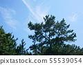여름 하늘과 소나무 55539054
