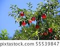 사과나무 55539847