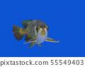 Asian Arowana Fish 55549403