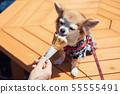 Pomeranian dog eat ice cream 55555491