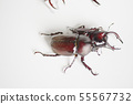 Close beetle and saw beetle white background insect insect biology summer vacation 55567732