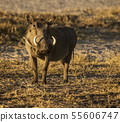 A single warthog looks at the photographer 55606747