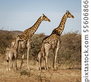Two baby giraffes each stand next to their mother 55606866