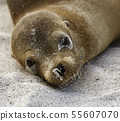 Baby Sea Lion Lies on Sand And Looks At Camera on Galapagos Island 55607070