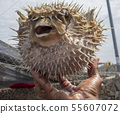 Spiky Porcupine-fish Being Held 55607072
