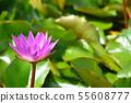 紫色荷花花股票照片 55608777