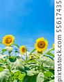 [Japan Summer] Sunflower Garden Musashimurayama 55617435