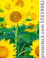 일면의 해바라기 밭 [나가노] 55639982