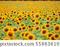 Sunflower field - bright yellow flowers, beautiful 55663610