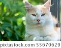 cat on the fence white face 55670629