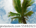View of the palm tree top from below 55692023