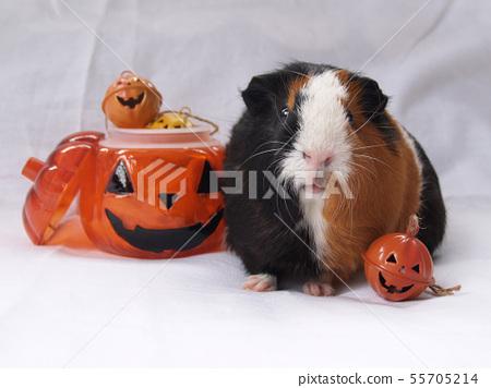 Guinea pig and halloween 55705214