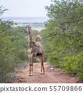 Giraffe in Kruger National park, South Africa 55709866