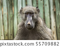 Chacma baboon in Kruger National park, South 55709882