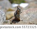 Golden-mantled ground squirrel 55723325