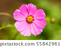 Pink cosme flower close up on natural background 55842961