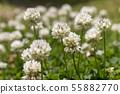 토끼풀의 꽃 55882770
