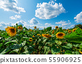 Field of sunflower flowers on a sunny day 55906925