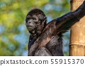 The black-headed spider monkey, Ateles fusciceps 55915370