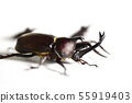 Close beetle and saw beetle white background insect insect biology summer vacation 55919403