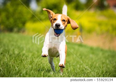 Beagle dog runs through green meadow towards 55929134