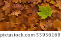 Young green maple leaf among old fallen autumn background 55936169