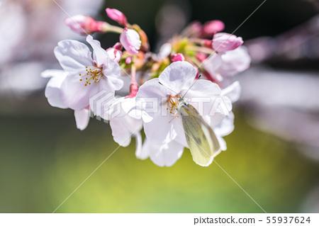 吮櫻桃花蜜的白色蝴蝶 55937624