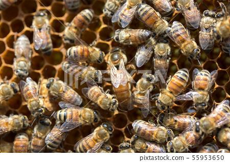 蜜蜂,蜂蜜,養蜂人 55953650