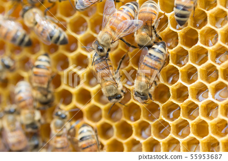 蜜蜂,蜂蜜,養蜂人 55953687
