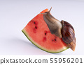 Giant African land snail eating watermelon, on a 55956201