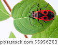 Pyrochroidae fire beetle on a leaf of a tree. 55956203