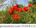 Sunlit red poppies in a lush greenery 55958113