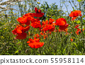Red poppies close up in a lush greenery 55958114