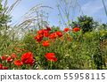 Red poppies in a lush greenery 55958115