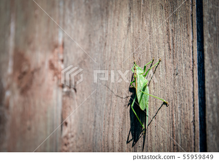 Grasshopper standing on a wooden wall 55959849