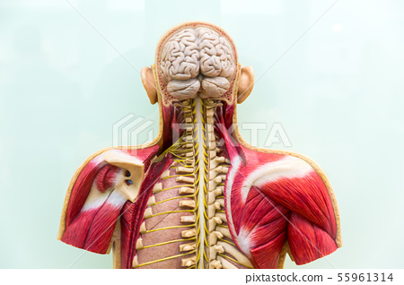 Human body, brain, skeleton and muscular system 55961314