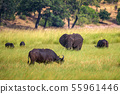 Elephant and buffalos grazing in Chobe National Park, Botswana 55961446