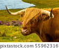 Angus Highland Cattle In Scotland 55962316