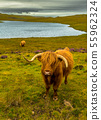 Angus Highland Cattle In Scotland 55962324