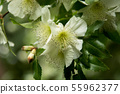 Fragile White Blossom Of A Rosaceae Tree in Spring 55962377