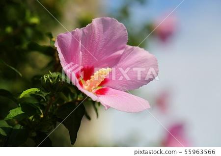 분홍무궁화 55963566