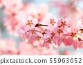 분홍벚꽃 55963652